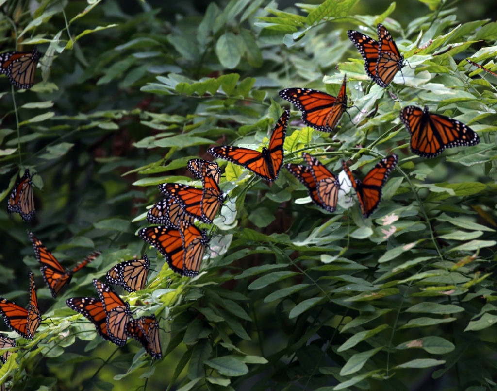 A group of Monarch butterflies roosted on a branch at Wendy Park near downtown Cleveland.on Tuesday. (Gus Chan, The Plain Dealer)